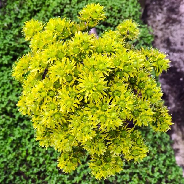 tiny_succulent_flowers3