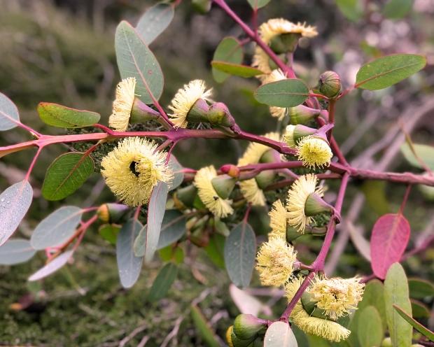 eucalyptus_blooming